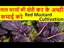 लाल सरसों की खेती  – Lal Sarso, Red Mustard Cultivation Ki Kheti Kaise Kare