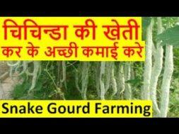 चिचिन्डा की खेती Chichinda Snake Gourd Farming Business