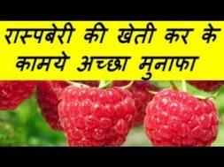 रास्पबेरी की खेती कर के कामये अच्छा मुनाफा Raspberry Farming