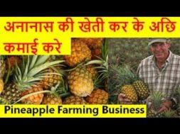 अनानास की खेती कर के अछि कमाई करे  Pineapple Farming Business