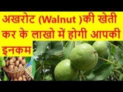 अखरोट (Walnut )की खेती कर के लाखो में होगी आपकी इनकम walnut farming business