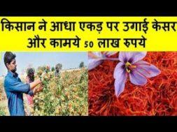 किसान ने आधा एकड़ पर उगाई केसर  Farmer raised half acre of saffron and earned 50 lakh rupees