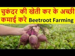 चुकंदर की खेती Beetroot Farming Business, chukandar ki kheti, Beetroot cultivation