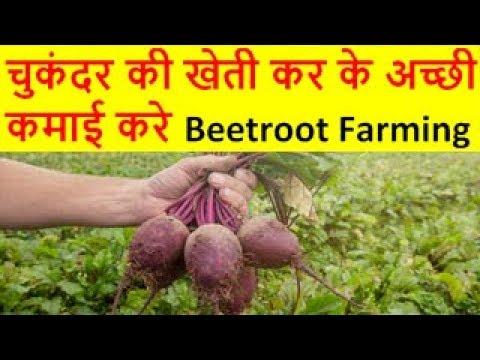 चुकंदर की खेती Beetroot Farming Business, chukandar ki kheti, Beetroot cultivation