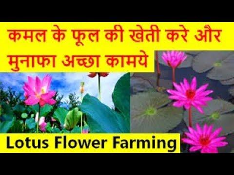 कमल के फूल की खेती करे और मुनाफा अच्छा कामये  Lotus Flower Farming