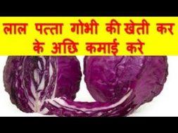 लाल पत्ता गोभी की खेती कर के अछि कमाई करे Red cabbage farming