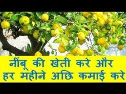 नींबू की खेती करे और हर महीने अछि कमाई करे Lemon (citrus) Farming Business