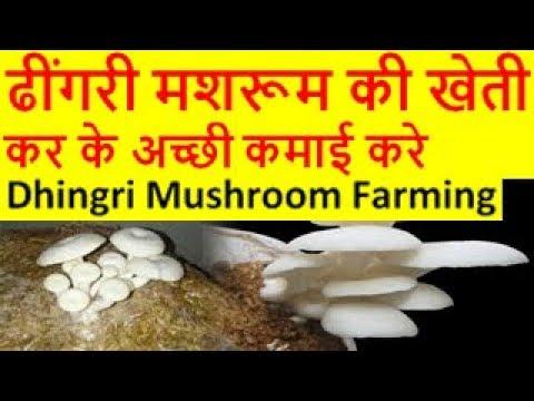 ढींगरी मशरूम की खेती Dhingri Mushroom Farming, Dhingri Mushroom cultivation in hindi