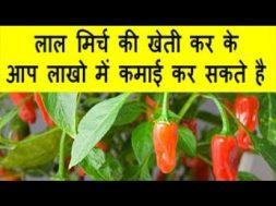 लाल मिर्च की खेती कर के आप लाखो में कमाई कर सकते है Red chilly farming
