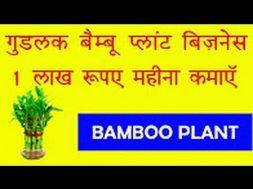 गुडलक वाला ये प्लान्ट कराएगा आपको लाखों की कमाई – Bamboo Plant can earn money for you- Lucky Plants