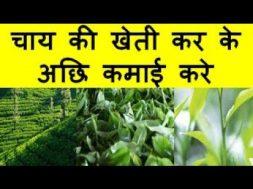 चाय की खेती कर के अछि कमाई करे Tea Farming Business