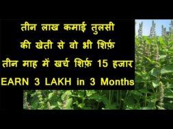 EARN 3 LAKH By Tulsi Plant Business | तीन लाख कमाई तुलसी की खेती से वो भी शिर्फ़ तीन माह में
