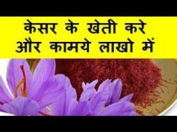 केसर के खेती करे और कामये लाखो  में Saffron Farming