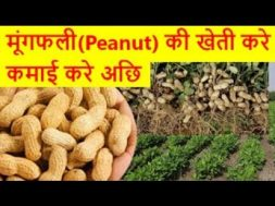 मूंगफली की खेती करे कमाई करे अछि peanut farming business