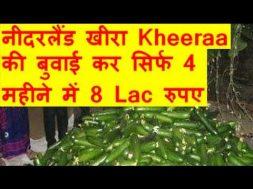 नीदरलैंड खीरा Kheeraa की बुवाई कर सिर्फ 4 महीने में 8 Lac रुपए की पैदावार   Cucumber