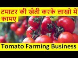 टमाटर की खेती करके लाखो में कामए Tomato Farming business