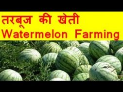 तरबूज की खेती  Watermelon farming business – Tarbooj Ki Kheti Kaise Kare