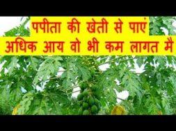 पपीता की खेती से पाएं अधिक आय वो भी कम लागत मै Papaya Farming Business