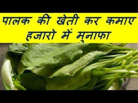 पालक की खेती कर कमाए हजारो में मुनाफा  Palak (Spinach) Farming Business