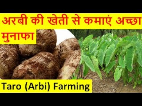अरबी की खेती से कमाएं अच्छा मुनाफाTaro Arbi Farming