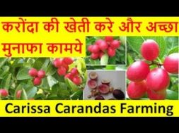 करोंदा की खेती करे और अच्छा मुनाफा कामये Carissa Carandas (Karonda ) Farming