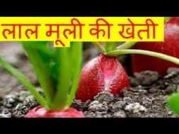 लाल मूली की खेती Red Radish farming business  – Lal Mooli Ki Kheti Kaise Kare