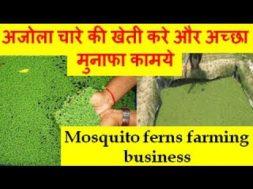Mosquito ferns farming business अजोला चारे की खेती करे और अच्छा मुनाफा कामये