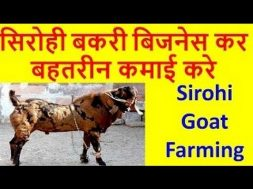 Sirohi Goat Farming business in india   सिरोही बकरी पालन गोट फार्मिंग Earn Good profit