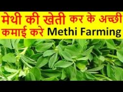मेथी की खेती Methi Farming Fenugreek Cultivation, How to Grow Fenugreek Leaves