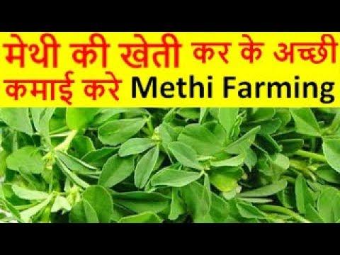 मेथी की खेती Methi Farming Fenugreek Cultivation, How to Grow Fenugreek Leaves