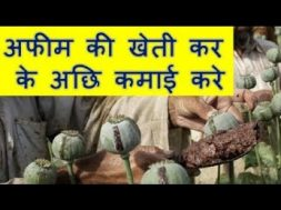 अफीम की खेती कर के अछि कमाई करे  Opium Farming