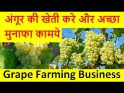 अंगूर की खेती करे और अच्छा मुनाफा कामये  Grapes  Farming  Business
