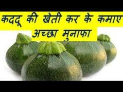 कददू की खेती कर के कमाए अच्छा मुनाफा kaddu [ Pumpkin] Farming Business