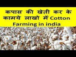 कपास की खेती कर के कामये लाखो  में Cotton Farming in india