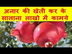 अनार की खेती कर के सालाना लाखो मै कामये pomegranate farming
