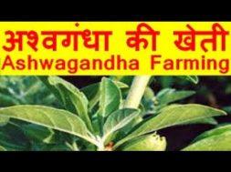 अश्वगंधा की खेती Ashwagandha Farming Business & Earn Good Income