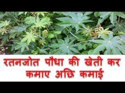 रतनजोत पौधा की खेती कर कमाए अछि कमाई Ratanjot farming business