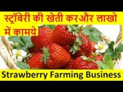 स्ट्रॉबेरी की खेती करे और लाखो में कामये  strawberry farming business