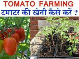 Tomato Farming earning 1 cr with Tomato farming   टमाटर की खेती कैसे करे