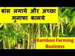 बांस लगाये और अच्छा मुनाफा कामये  Bamboo Farming Business