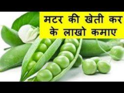 मटर की खेती कर के लाखो कमाए  Peas (Matar )Farming