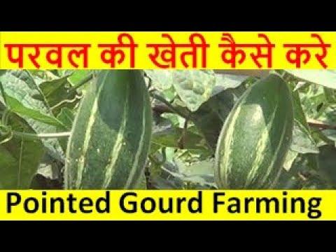 परवल की खेती कैसे करे  pointed gourd farming business
