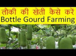 लौकी की खेती कैसे करें Lauki Bottle Gourd Farming Business