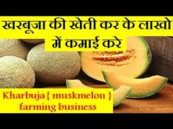Kharbuja { muskmelon } farming business खरबूजा की खेती कर के लाखो में कमाई करे