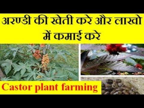 Ricinus (Castor, Arandi )plant farming अरण्डी की खेती करे और लाखो में कमाई करे