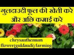 chrysanthemum flower(guldaudi) farming and earn good income  | guldaudi flower farming business