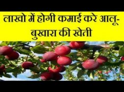 Common plum Aloo Bukharafarming business and earn good income  | Alu Bukhara farming business