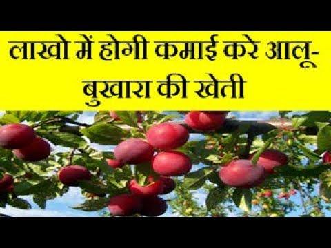 Common plum Aloo Bukharafarming business and earn good income    Alu Bukhara farming business