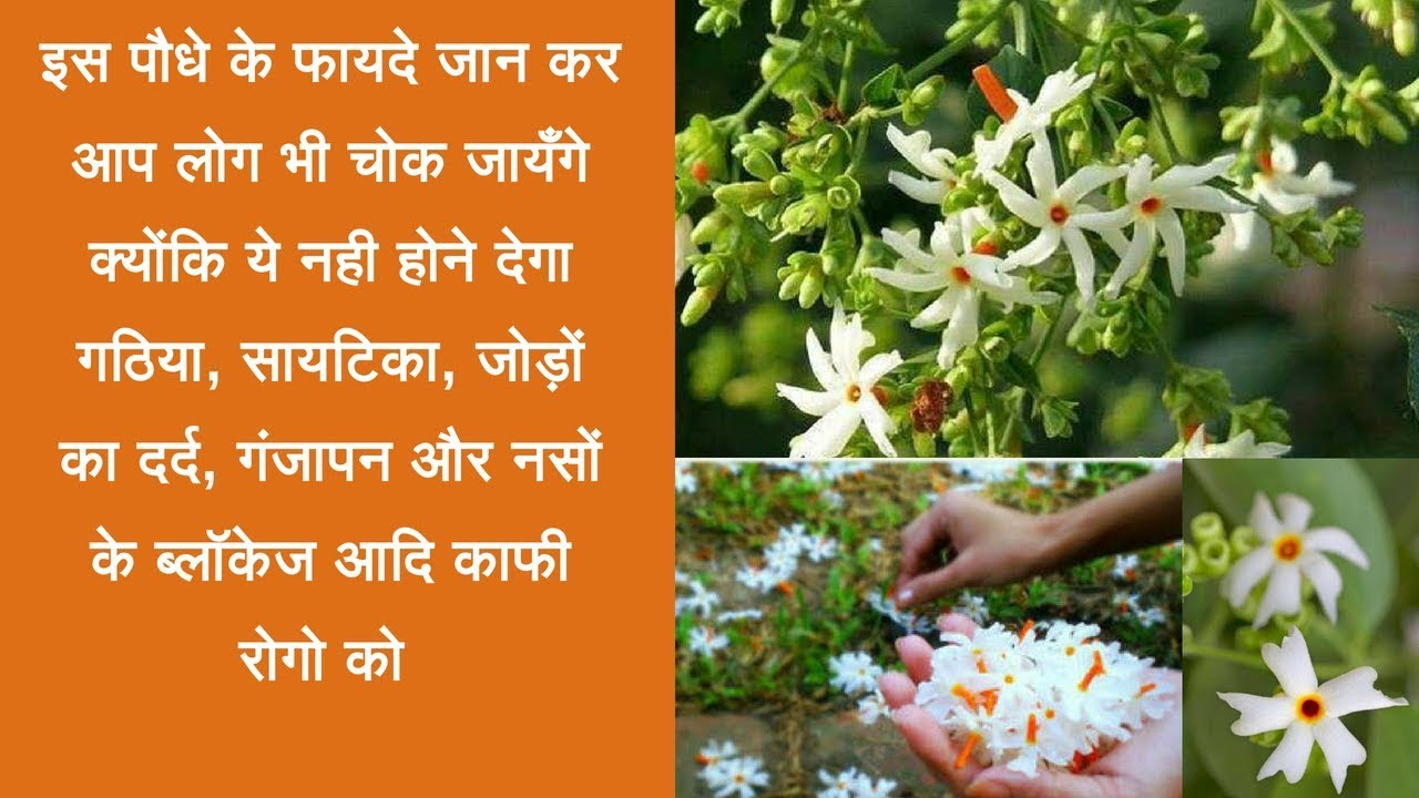 Harsingar Health Benefits(Parijat ) | Night-flowering jasmine health benefits