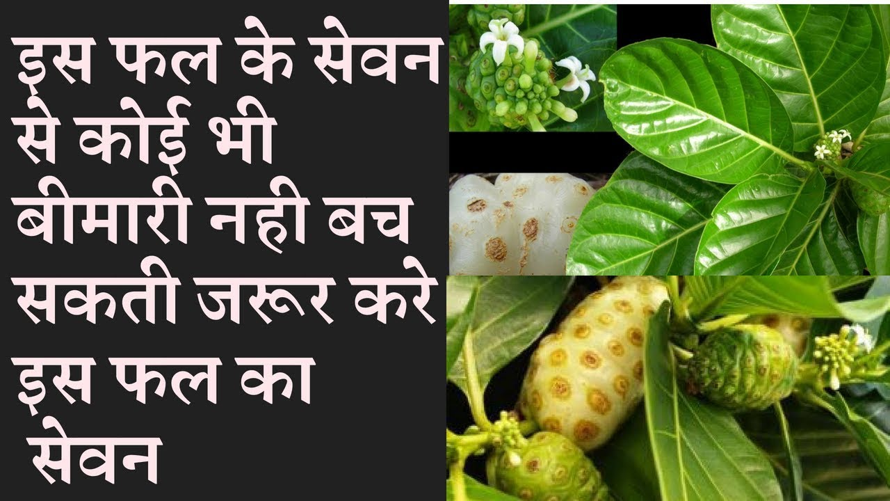 Amazing health benefits of noni fruit Cheese fruit नोनी फल खाने के अचूक फायदे